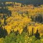 Fall colors.( gold Aspens) (Populus tremuloides (American Aspen))