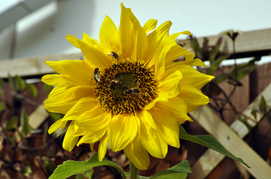 A note to myself: (Helianthus annuus (Sunflower))