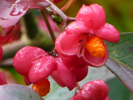 Spindleberries  (Euonymus    ( Red Cascade ))
