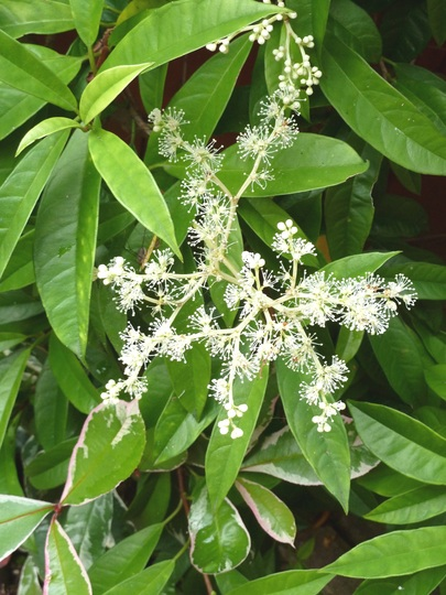 Pileostegia Viburnoides ... an attractive evergreen shrub ...