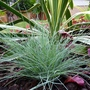 Another Festuca Glauca, a little greener than &#x27;Intense Blue&#x27;