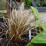 Carex &#x27;Copper Curls&#x27; (Carex)