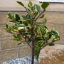 Ilex altaclerensis 'Golden King' (Ilex x altaclerensis (Holly))