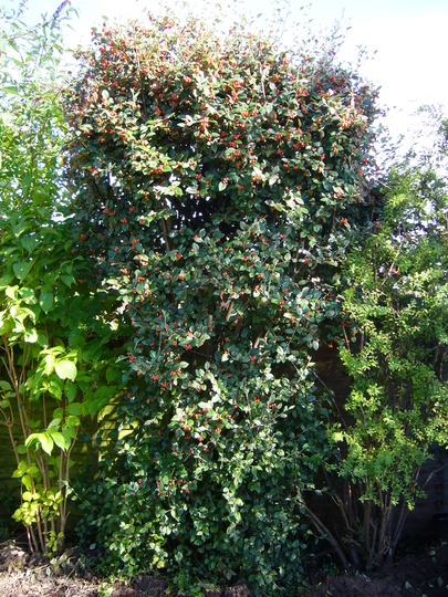 Cotoneaster (for my records) (Cotoneaster sternianus (Stern's Cotoneaster))