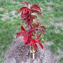 Oxydendrum arboreum (Oxydendrum arboreum)
