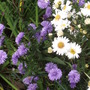 Wonderful Asters