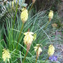 Kniphofia 'Little Maid' (Kniphofia. 'Little Maid')