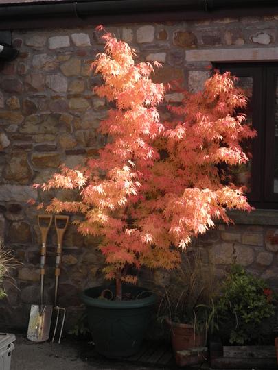 Fork, Spade, Sangokaku (Acer palmatum (Japanese maple))
