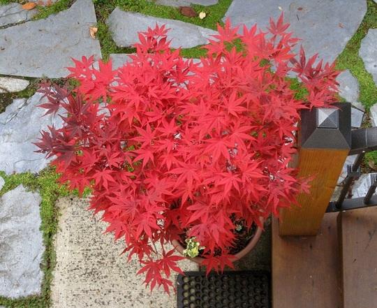 Japanese maple - Acer palmatum 'Emperor 1'
