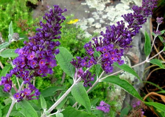 Buddleia Purple