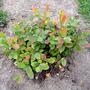 Fothergilla gardenia 'Harold Epstein' (Fothergilla gardenii)