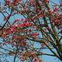 Brachychiton discolor - Lacebark Tree Flowers (Brachychiton discolor - Lacebark Tree Flowers)