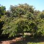 Chrysophyllum cainito - Star Apple, Caimito (Chrysophyllum cainito - Star Apple, Caimito)