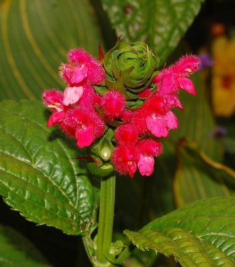 Salvia oxyphora (Salvia oxyphora)