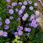 purple display (Aster novi-belgii)