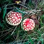 A walk on the wild-side and Amanita muscaria.