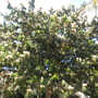 Inga edulis - Ice Cream Bean Tree In Full Flower (Inga edulis - Ice Cream Bean Tree)