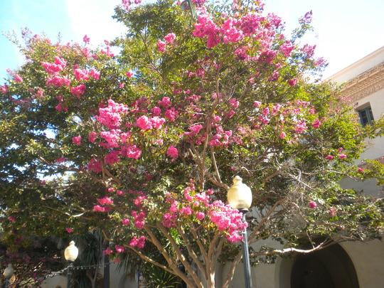 Lagerstroemia indica - Crape Myrtle Flowering (Lagerstroemia indica - Crape Myrtle)