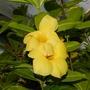 Allamanda cathartica (Allamanda cathartica)