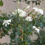 Gardenia thunbergia - Starry Gardenia (Gardenia thunbergia - Starry Gardenia)
