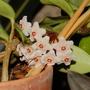 Hoya carnosa (Hoya carnosa (Honey Plant))