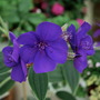 Sorry could not resist adding another picture. (Tibouchina urvilleana (Lasiandra))
