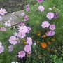 Cosmos and Gazinias are still doing well.