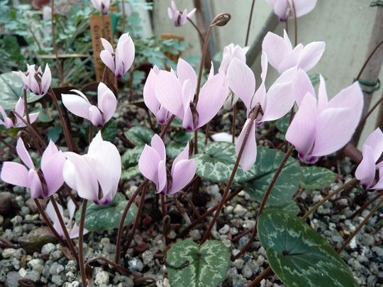 Cyclamen Cilicium in a pot