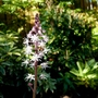 Flower of Tiarella 'Sugar and Spice'