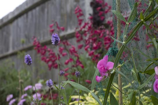 IMG_9842.jpg (Lathyrus odoratus (Old-Fashioned Sweet Pea))