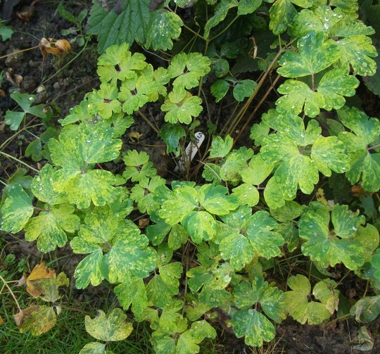 For my records an Aquilegia marbled, sent to me by Samjp. the leaves are so pretty can hardly wait to see the flowers. (Aquilegia)