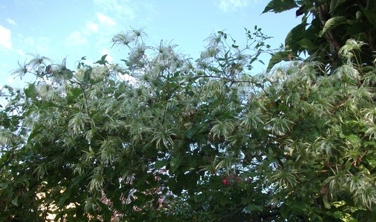 "Seed heads on Clematis 'My Angel' (Clematis ""My Angel""(Tangutica group; aka Engelina))"