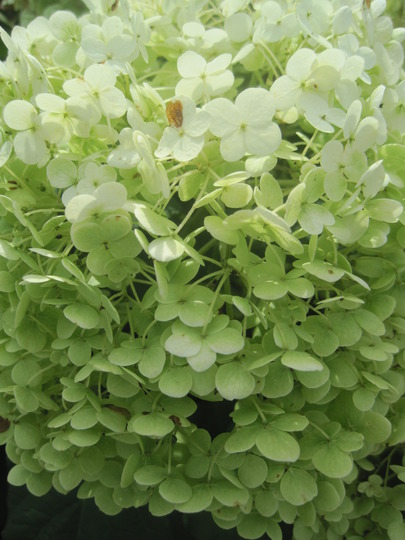 annabelle (Hydrangea arborescens (Hydrangea))