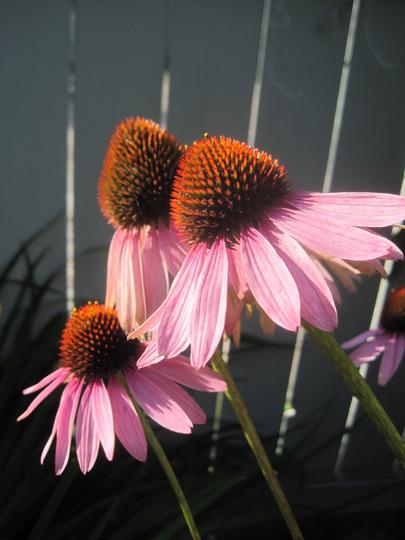 echinacea (echinacea)