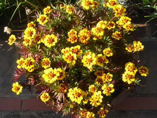 French Marigold 'Colossus' (Tagetes. (French marigold) 'Naughty Marietta')