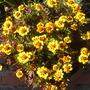 Marigold_clossus_9french_
