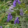 Aconitum carmichaelii &#x27;Arendsii&#x27; - 2012 (Aconitum carmichaelii)