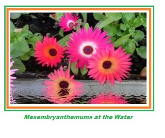 mesembryanthemums at the water's edge