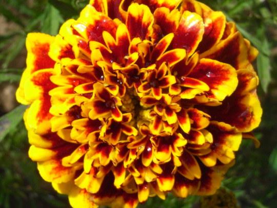 French Marigold 'Colossus' (Tagetes patula (French marigold)  'Colossus')