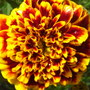 French Marigold 'Colossus' (Tagetes patula (French marigold)  'Colossus')