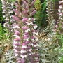 Acanthus (Bear&#x27;s Breeches) (Acanthus spinosus (Bear&#x27;s breeches))