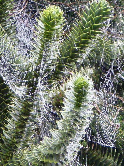 Monkey Puzzle tree with cobwebs   (A.araucana)