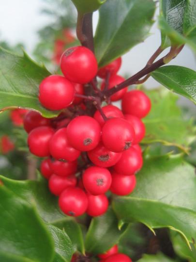 holly berries - a- plenty