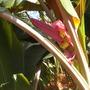 Musa velutina - Pink Flowering Banana (Musa velutina - Pink Flowering Banana)
