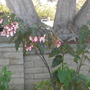 Angel Wing Begonia (Angel Wing Begonia)