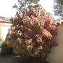 Acalypha wilkesiana 'Marginata' - Copper Leaf Shrub (Acalypha wilkesiana 'Marginata' - Copper Leaf Shrub)