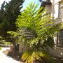Caryota gigas - King Kong Fishtail Palm (Caryota gigas - King Kong Fishtail Palm)