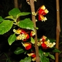 Impatiens niamniamensis (Impatiens niamniamensis (Parrot Plant))