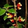 Impatiens niamniamensis (Impatiens niamniamensis (Parrot Plant))