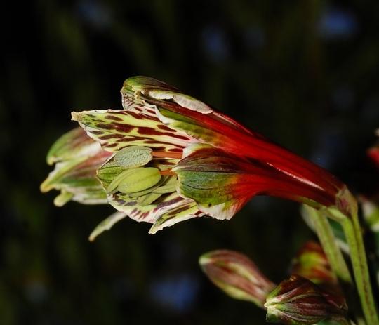 Alstroemeria psittacina (Alstroemeria psittacina (White edged Peruvian Lily))
